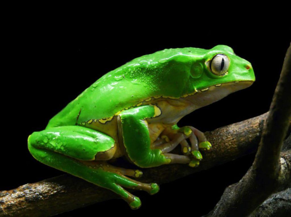 Kambo: Frog Poison